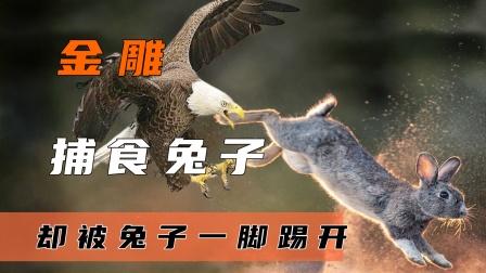 老鹰轮番捕猎兔子,不料兔子竟会武术,一招兔子蹬鹰解决老鹰!