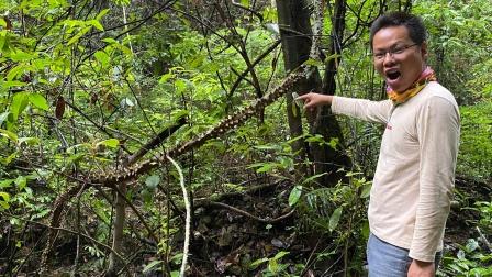 """小伙深山采红蘑菇,意外发现罕见""""过山龙"""",10米长盘在老树上"""