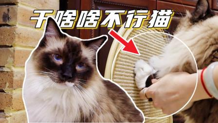 布偶猫有多蠢?连猫抓板都不会用,主人无奈只好手动教学