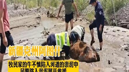 新疆克州阿图什牧民家的牛陷入河道淤泥中,民警跳入淤泥中救援