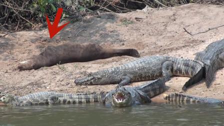 """""""大老鼠""""搔首弄姿,鳄鱼却坐怀不乱,因为随时会被碎尸万段!"""