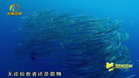 变化莫测的银鱼群形状,让蓝点笛鲷无从下口,很难吃到它们