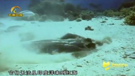 水下沙漠曼德海峡,能进这片海域的鱼很少,而黄貂鱼就可以