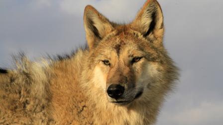 重返狼群网络版11集-格林 是你吗?