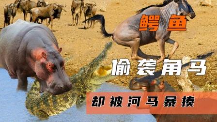 鳄鱼捕猎角马,即将成功之际,河马出手暴揍鳄鱼!