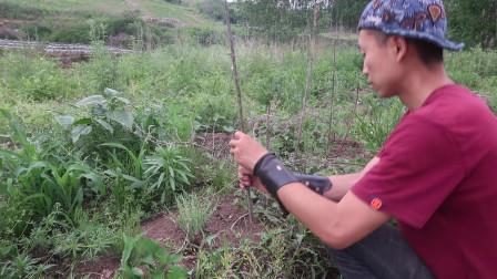 菜园的六月:搭建番茄支架,利用周围的天然秸秆材料