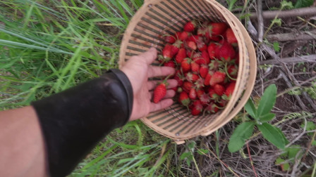 地球人吃草莓:今天收获了一斤多的草莓,吃了一筐浆果