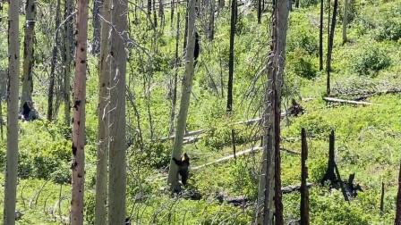 游客在美国公园拍到灰熊追逐黑熊罕见画面,因不擅长爬树而失败