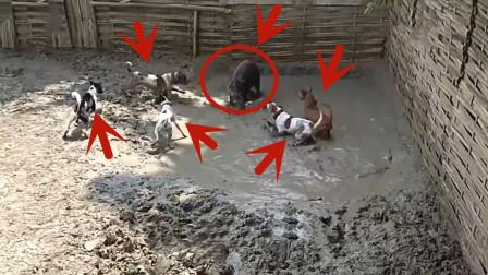 5只狗狗围攻一只大野猪,野猪可惨了,主人直接不敢靠近!