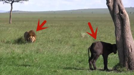 小牛在树下等妈妈,可惜等来的却是死亡!看完让人痛心!
