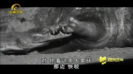 鳄鱼疯狂撕咬河马身体,谁知狮子前来,鳄鱼群集体撤离