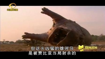 高科技摄影机拍下,河马被当地居民射杀,鬣狗都想吃掉河马尸体