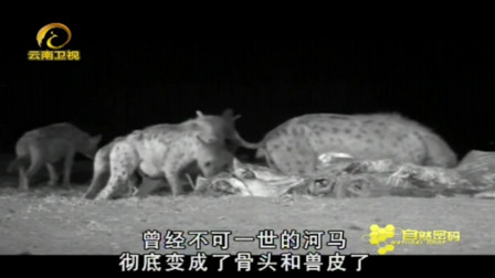 惊现罕见一幕,河马为死去的同伴默哀,赶走周围掠食者