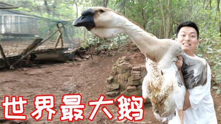 狮头鹅!世界上最大的鹅?!和小伙伴一起尝一尝!