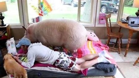 外国小伙不顾家人反对,娶母猪为妻,同吃同睡生活甜蜜