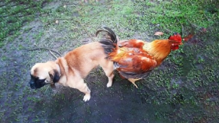 """为什么说""""鸡犬不宁""""?它们之间的相爱相杀,看完笑掉大牙"""