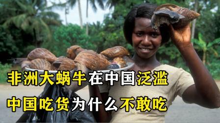 非洲大蜗牛在中国泛滥,中国人为何不敢吃?