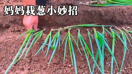 农家院里小妙招,妈妈这样栽葱,长得又壮又不生虫子