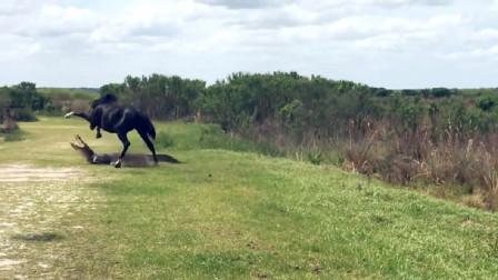 鳄鱼正在晒日光浴,野马几脚踢了过来!鳄鱼:好嚣张的野马!