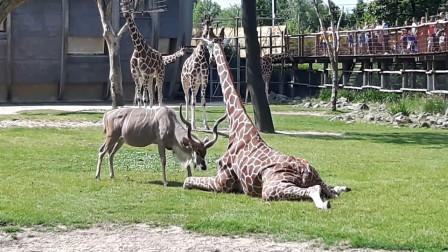 拥有4条大长腿的长颈鹿,万万没想到,竟会败一只羚羊身上