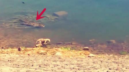流浪狗正在水边觅食,可食物没找到,自己倒先成了别人的猎物!