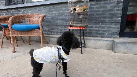 小泰迪第一次看到鹦鹉,哼哼唧唧在说什么?