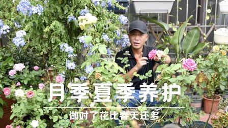 月季夏季养护,做对了花比春天还多,枝繁叶茂花量大