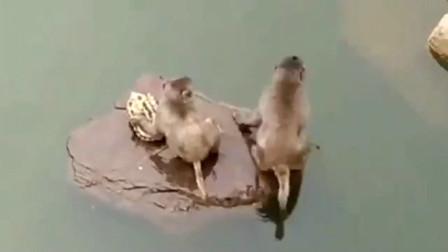 两只小猴子把乌龟翻了个面,之后撒腿就跑,太顽劣了