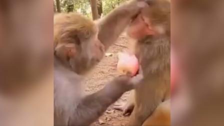 这只猴子太坏了,拿着苹果馋别的猴子