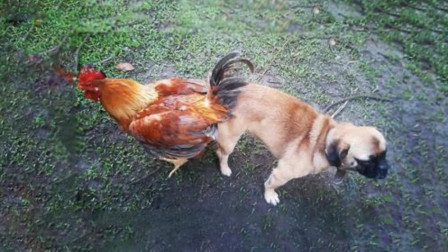 为啥总说鸡犬不宁?看看狗都对鸡做了啥,你就明白了!