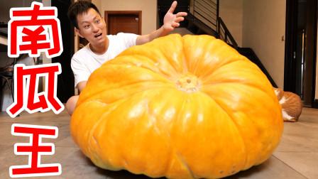 买来重达300斤的南瓜品种南瓜王!没想到这是给猪吃的!