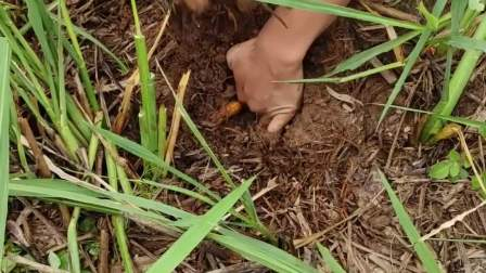 稻田有奇怪出气孔,挖开就是甲鱼!