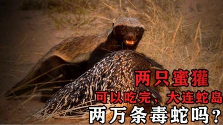 大连岛有2万条毒蛇,如果把2只蜜獾放岛上,能把蛇全部吃完吗?