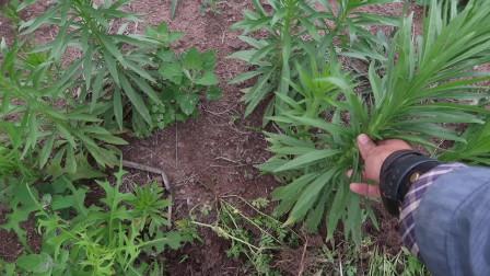 农村田间地头,可食用野草「小蓬草」,小时候好像吃过的味道?