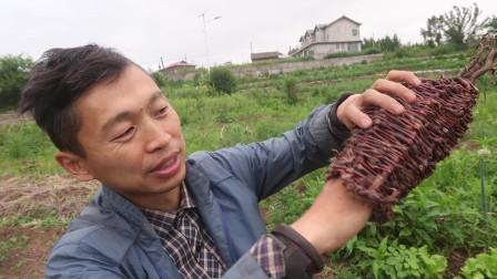 北方地区用这种草「酸模叶廖」,也可以编织篮筐,是我最近发现的!