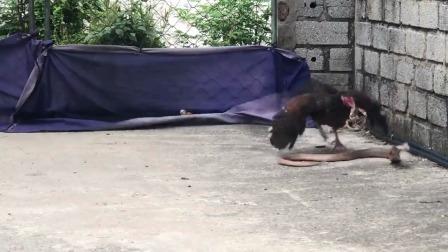 鸡妈妈为保护孩子大战毒蛇 超强战斗力网友惊呆
