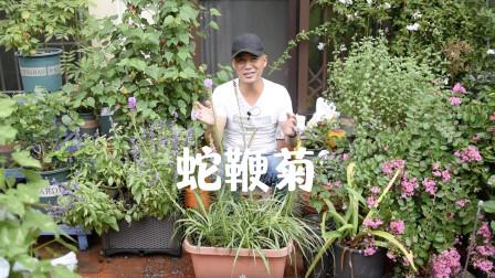稀奇古怪蛇鞭菊,适合庭院种植,搭配花境效果超好
