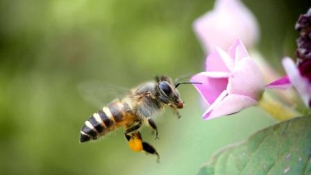 蜜蜂脚有多可爱,一直抖个不停