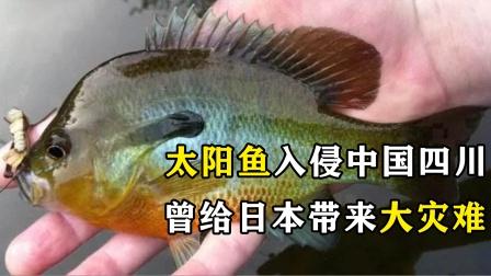 """太阳鱼""""入侵""""四川?中国吃货:准备好火锅"""