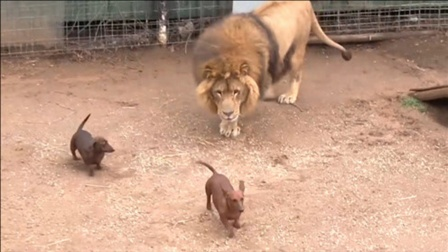 """""""活体投喂""""!将小狗子扔入狮子园,狮子的反应让人意外!"""