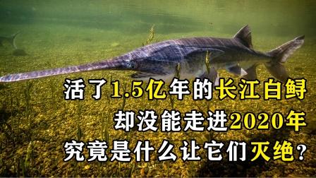 长江白鲟活了1.5亿年,在2019年灭绝