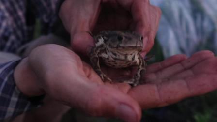 自然栽培菜园里,抓到一只「蛤蟆」,小家伙力气可大了!