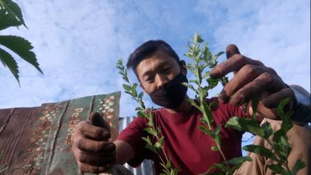 网购「植物栅栏」移栽小树苗,做菜园篱笆!