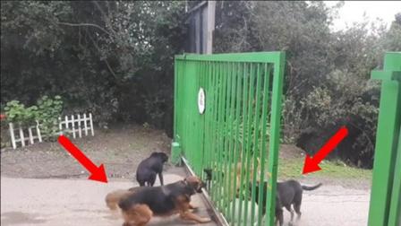 教科书级别打架教科书狗子隔着护栏比谁都狠,护栏一开比谁都怂!