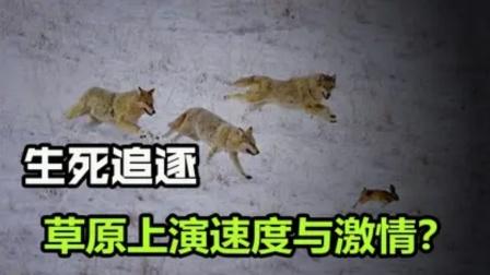 """一群狼疯狂追赶一只野兔,野兔还能""""狼""""口脱险,是狼废了吗?"""