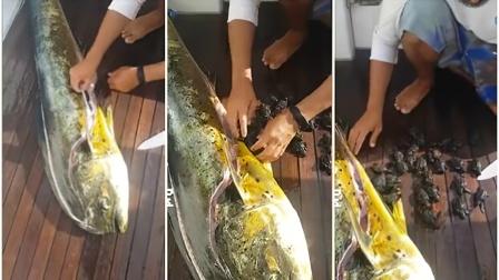 男子钓到大鱼,划开鱼肚子竟然藏着32只它