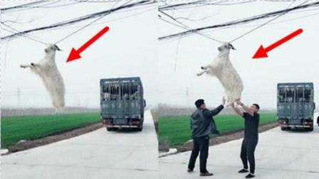 """山羊碰到高压电,瞬间直达""""羊生巅峰""""!镜头记录搞笑一幕!"""