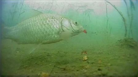 这条鲫鱼吃钩的漂亮