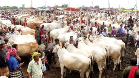 印度又一物种泛滥成灾,数量高达3亿多头,不能吃也不能杀