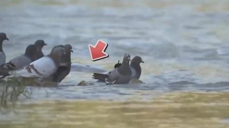 """鸽子正在河边喝水,不料一道""""黑影""""过来,直接命丧当场"""